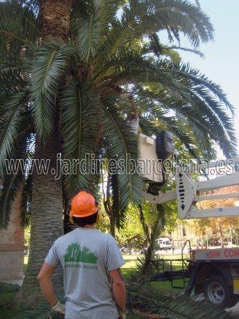 Jardinero realizando poda tala de una palmera con medios manuales, mec�nicos y de trepa. Jardineria Mon�s ofrece sus servicios de tala o poda de arboles y arbustives al Maresme, Barcelona, Baix Llobregat y Vall�s