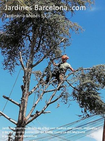 Jardinero realizando poda tala de �rbol cedro con medios manuales, mec�nicos y de trepa en Alella, comarca del Maresme y provincia de Barcelona