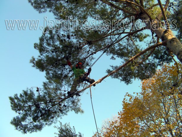 Jardinero realizando poda de un pino manuales, mec�nicos y de trepa en Sant Cugat del Vall�s, comarca del Baix Llobregat y provincia de Barcelona