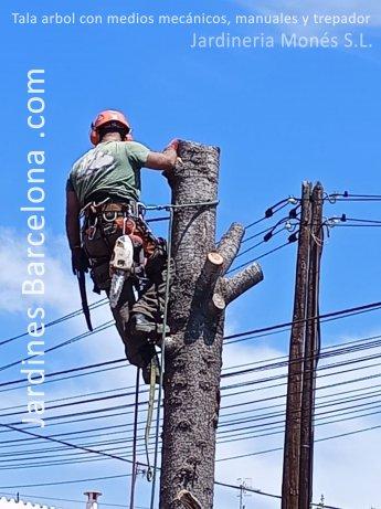 Jardinero de Jardineria Mon�s ejecutando la tala de arbol cedro con medios manuales, mec�nicos y con trepador en la poblaci� de Alella, comarca del Maresme y provincia de Barcelona